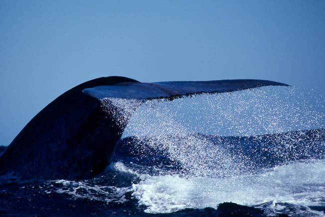 Perth Canyon Blue Whale Tour